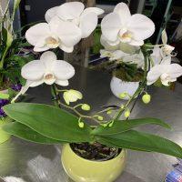 orchidée en arc
